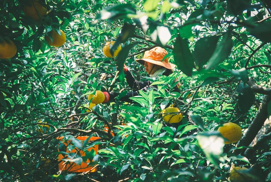 福岡正信自然農園の文旦収穫風景