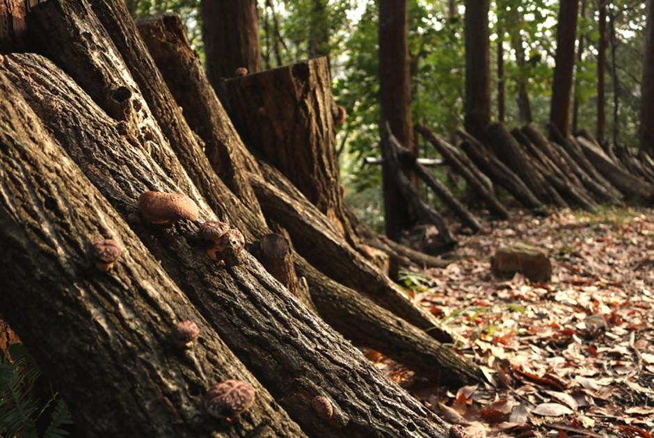 福岡正信自然農園の森の中で育つ原木しいたけ