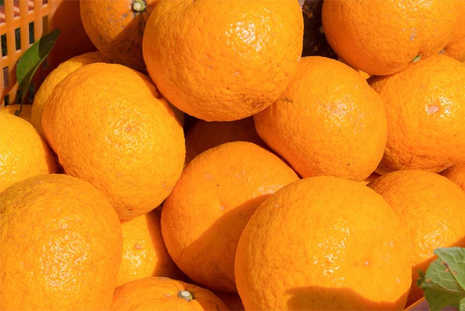 たくさんの甘夏の果実
