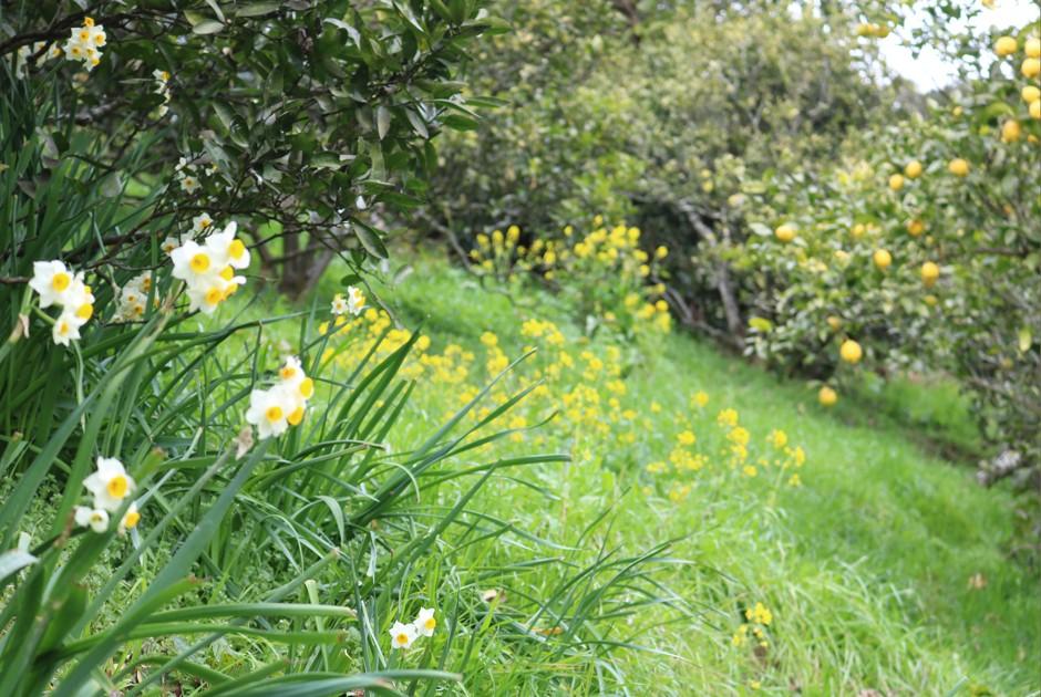 八朔の木と菜の花と水仙