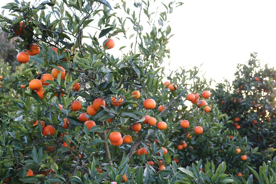 木に成ったたくさんのブラッドオレンジ