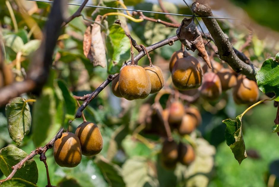 キウイ果樹