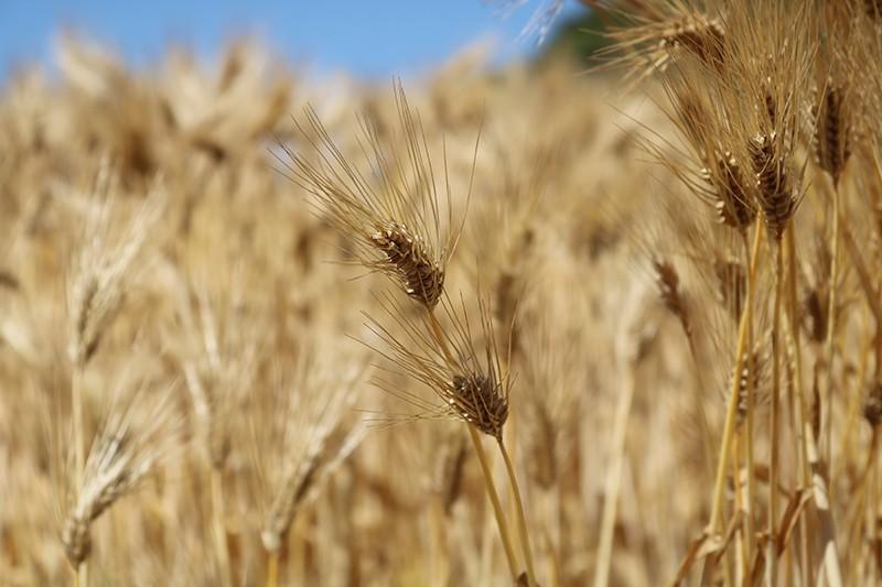 はだか麦の畑