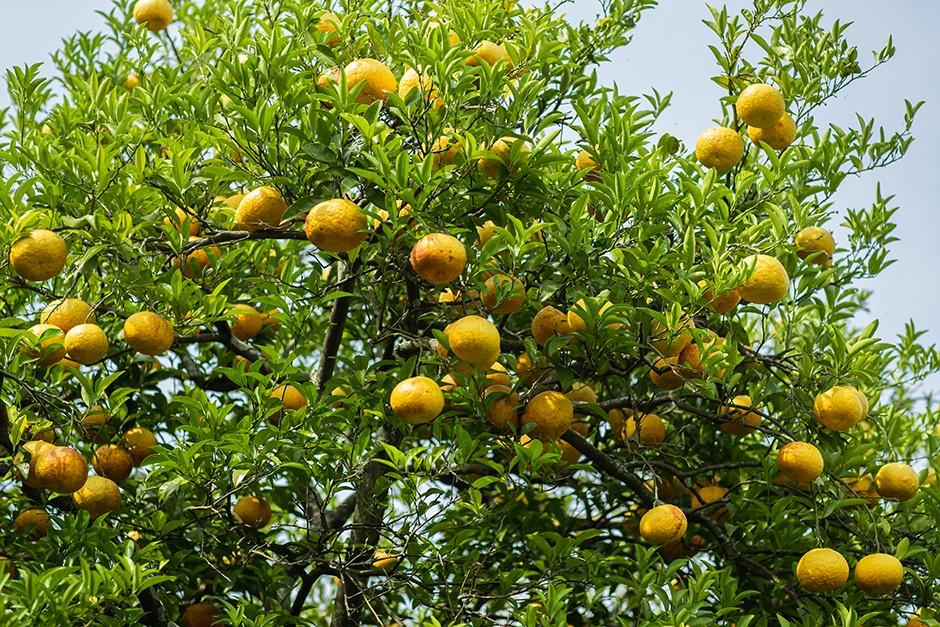 沢山の実が成った甘夏の木