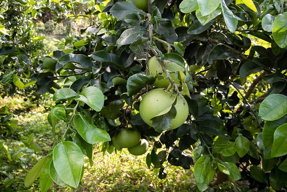 グリーングレープフルーツの木