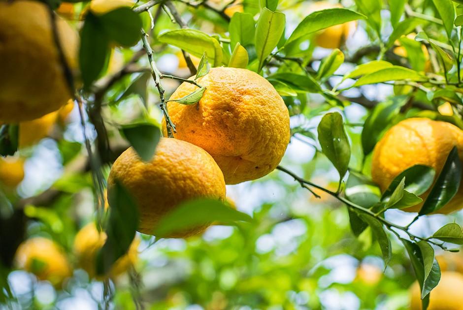 甘夏の果樹